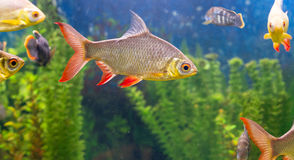 Fishes in aquarium Royalty Free Stock Photo