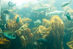 Fishes in aquarium or reservoir ubder water on fish farm Sealife background.  stock photography