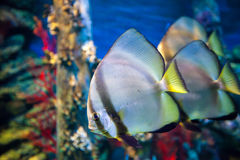 Fishes in the aquarium Royalty Free Stock Photography