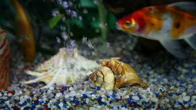 Fishes in aquarium swimming around. Home environment stock footage