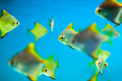 Fishes in aquarium Royalty Free Stock Photography