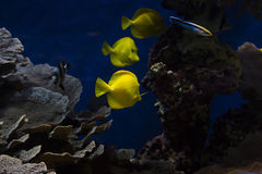 A fishes in aquarium. These are tropical fishes in big aquarium Stock Photography