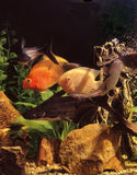 Fishes in an aquarium Royalty Free Stock Photography