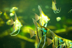 Fishes in an aquarium Stock Photography