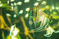 Fishes in an aquarium Royalty Free Stock Photos