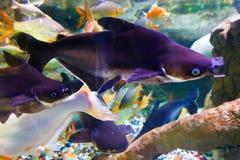 Underwater life - Aquarium Dubai. Fishes in blue - Underwater life fish on blue water sea - Dubai royalty free stock image