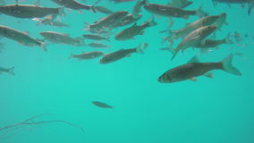 Fishes in blue water. Handheld slow motion underwater shot of fishes flock swimming in blue clear transparent water stock footage