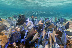 Fishes of Caribbean Sea. A shoal of blue fishes in Caribbean Sea, Mexico Stock Photo