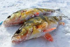 Fishes are caught on the ice in Scotland. Scotland - January 5, 2016: Fishes are caught on the ice in Scotland Stock Photo