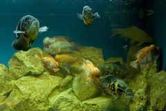Fishes Cichlasoma and Astronotus Royalty Free Stock Photos