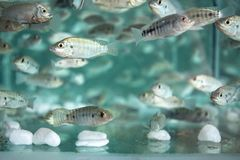Fishes in clean blue water. Fish spa aquarium. Doctor fish in glass fishtank. South Asia pedicure procedure. stock photo