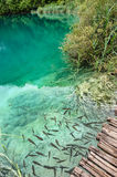 Fishes in clear water of Plitvice Lakes, Croatia Stock Images