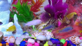 Fishes in colorful aquarium in underwater. Sweet water animal small fishes and colorful stones, imitation fauna flora background in underwater stock video footage