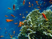 Fishes and coral in blue. Scalefin Anthias in the Red Sea and coral in blue royalty free stock photos