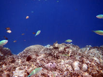 Fishes and coral in nobody sea Royalty Free Stock Images