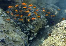 Fishes of coral reef, Eilat, Israel Stock Image