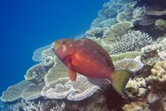 Fishes in corals Royalty Free Stock Image