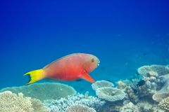 Fishes in corals Stock Photo