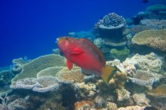 Fishes in corals. Indian ocean Stock Photos
