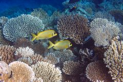 Fishes in corals. Royalty Free Stock Photos