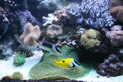Fishes and corals Stock Image
