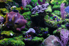Fishes and corals. Beautiful tropical fish and colorful corals under water Royalty Free Stock Image