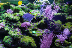 Fishes and corals close up. Silver moonfish Royalty Free Stock Images