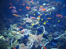 Fishes and corals Stock Photography