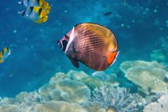 Fishes in corals. Maldives Royalty Free Stock Images
