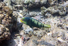Fishes in corals. Maldives. Indian ocean.  Royalty Free Stock Photo