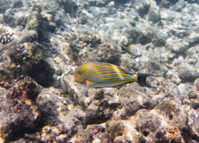 Fishes in corals. Maldives. Indian ocean.  Stock Photography