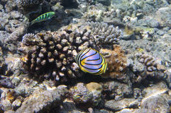 Fishes in corals. Maldives. Indian ocean. Fishes in corals  Maldives  Indian ocean Stock Images