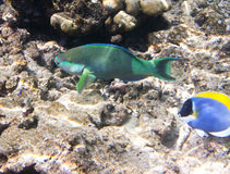 Fishes in corals. Maldives. Indian ocean. scarus, parrot fish Stock Image