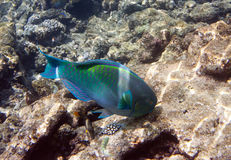 Fishes in corals. Maldives. Indian ocean. & x28;scarus, parrot fish& x29; Stock Photo