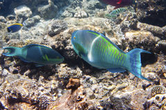 Fishes in corals. Maldives. Indian ocean. & x28;scarus, parrot fish& x29; Royalty Free Stock Photos