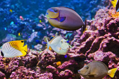 Fishes and corals reef Royalty Free Stock Images