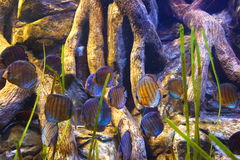 Fishes and corals reef in Aquarium Stock Photo