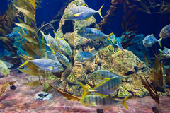 Fishes and corals reef in Aquarium Royalty Free Stock Image
