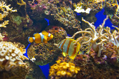 Fishes and corals reef in Aquarium Royalty Free Stock Photo