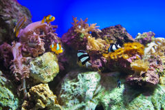 Fishes and corals reef in Aquarium Royalty Free Stock Photography