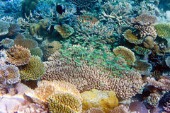 Fishes in corals. Tropical underwater landscape Royalty Free Stock Photo