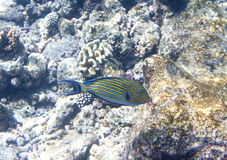 Fishes in corals. Underwater world. Underwater landscape in a sunny day Stock Photography