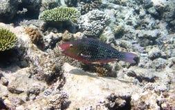 Fishes in corals. Underwater world.Scarus ferrugineus.  Royalty Free Stock Photos