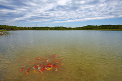 Fishes in lake, Beijing Olympic Forest Park Royalty Free Stock Photo