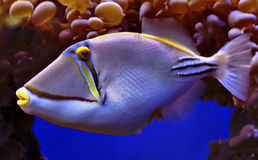 Fishes of Eilat's coral reefs. Eilat's coral reefs are a natural underwater museum exhibiting different colorful and wonderful marine fauna and flora of the Stock Photos