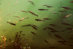 Fishes in emerald waters of Croatia Royalty Free Stock Photos