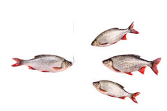 Fishes and fish on a hook,  isolated on white, clipping path Royalty Free Stock Photos