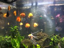Fishes in a fishbowl. Orange Fishes in a fish bowl Royalty Free Stock Images