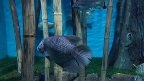 Fishes floating between bamboo stems against blue background 4K video stock video footage