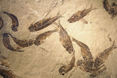 Fishes fossil. The close-up of fishes fossil royalty free stock photography